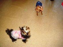 Наши клиенты. Платьице превращает любую собачку в красавицу и кокетку и самое главное совсем не мешает бегать и играть.