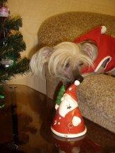 Наши клиенты. На фото китайская хохлатая собачка Персик.