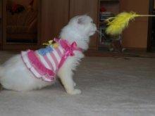 Трикотажный сарафанчик, такая одежда подходит и для кошки, потому что совсем не стесняет движений.