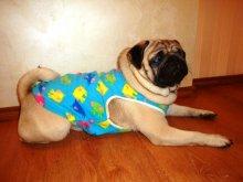 Наши клиенты. Теплые яркие толстовки из флиса, в том числе для крупных собак. Модель - мопс Боня.