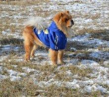 Модная толстовка для средних и крупных собак. На фото чау-чау Дагир.