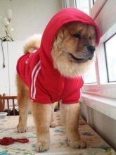 Модная толстовка для средних и крупных собак. На фото чау-чау Ерофей.