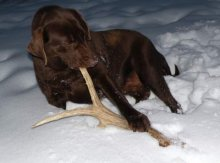 РОГА СЕВЕРНОГО ОЛЕНЯ! Полезная, очень долгоиграющая погрызуха для собак. Защита Вашей мебели и обуви. Одного рога хватает на несколько месяцев. Цена 240 руб. за 100г.