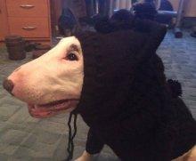 Новинка! Шапка для средних собак: булей, минибулей, стаффов и др. Не сползает, закрывает шею и уши собаки. Ручная работа. Цена 900руб.